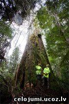 augstākais koks Tasmānija
